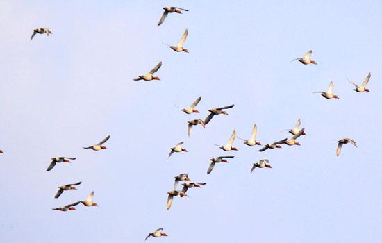 डायलाब में दिखे दुर्लभ प्रजाति के प्रवासी पक्षी रेड क्रस्टेड पोचार्ड