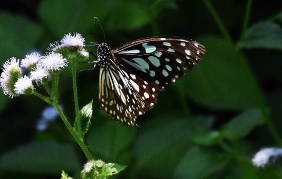 पहली बार होगा तितलियों के जीवन चक्र का जीवंतप्रदर्षन