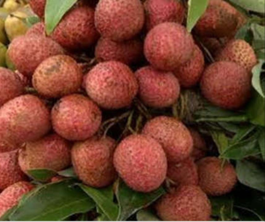 कोटा में आई मिठास से भरपूर लीची की बहार