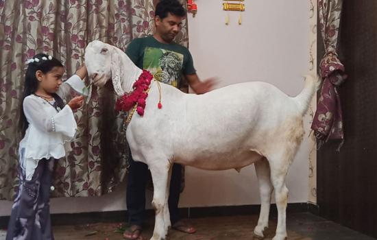हिंदुस्तान का सबसे बड़ा बकरा बकरे का वजन है करीब 200 किलो