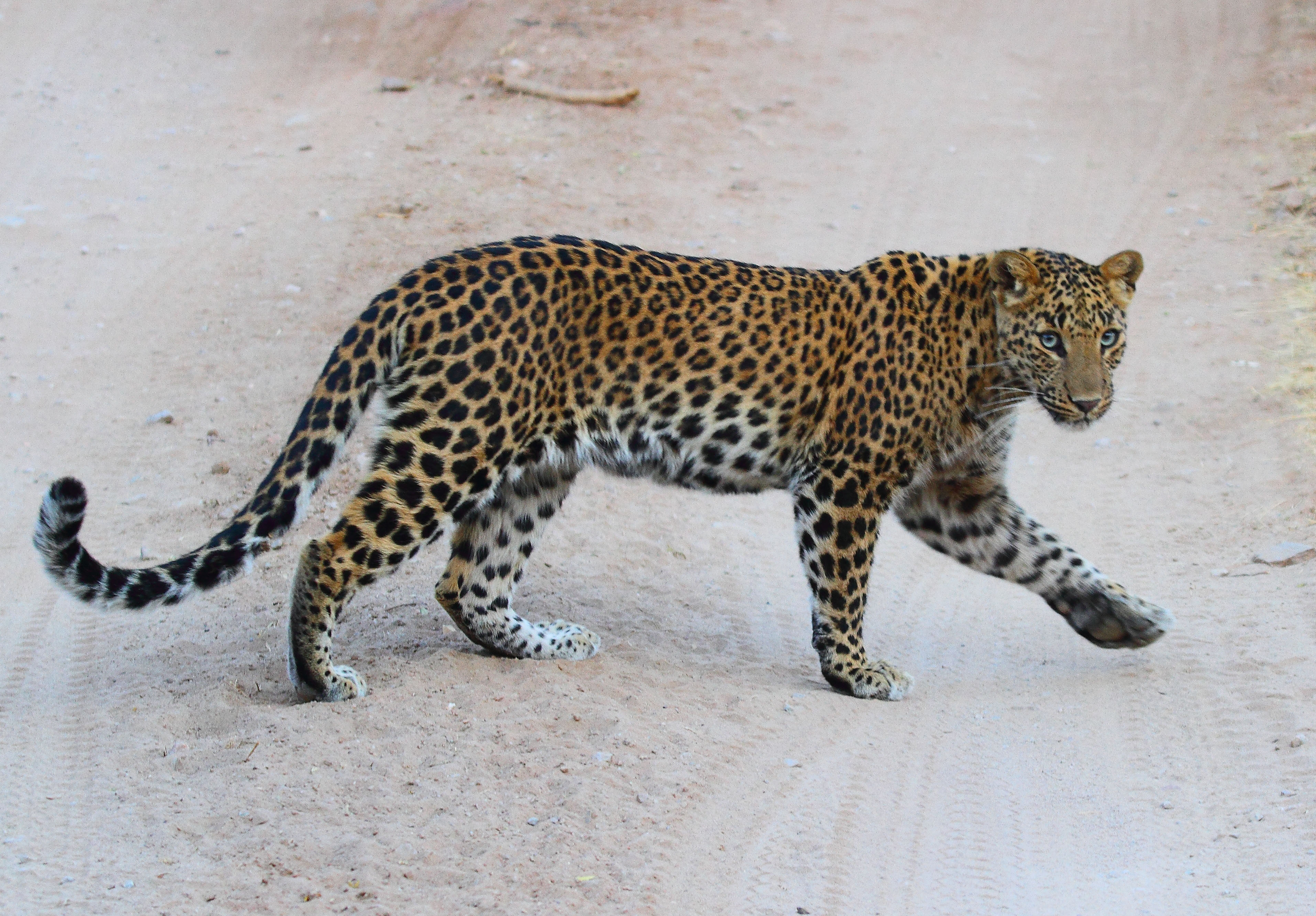 Leopard expansion and movement towards the Thar Desert of Rajasthan