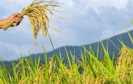 फसली ऋण लेने वाले कृषकों के लिए फसल बीमा स्वैच्छिक